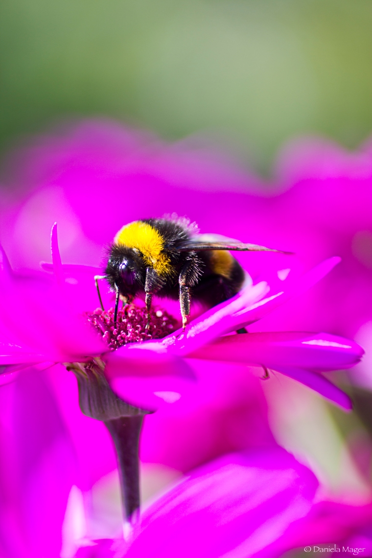 Another busy bumble-bee