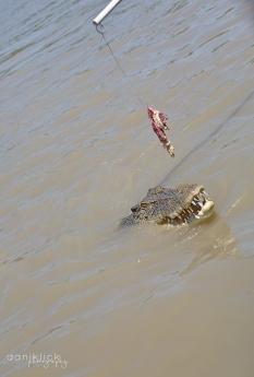 Adelaide River Saltwater Croc