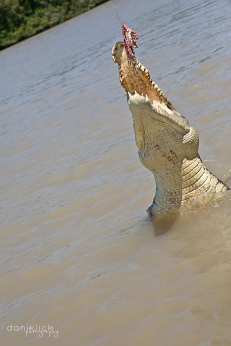 Adelaide River Saltwater Croc