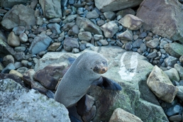 Seal Colony Ohau Point